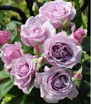 Roseshop_1221301031006060_2